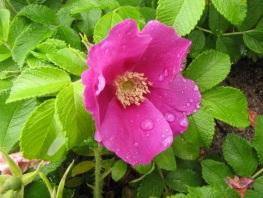 Kurtturuusu (Rosa rugosa). Kuva Terhi Ryttäri CC-BY-NC-4.0